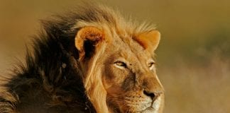 35 Lion Quotes On Success
