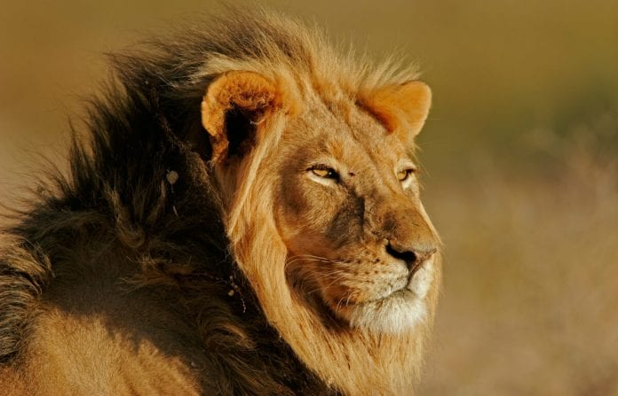 35 Lion Quotes On Success